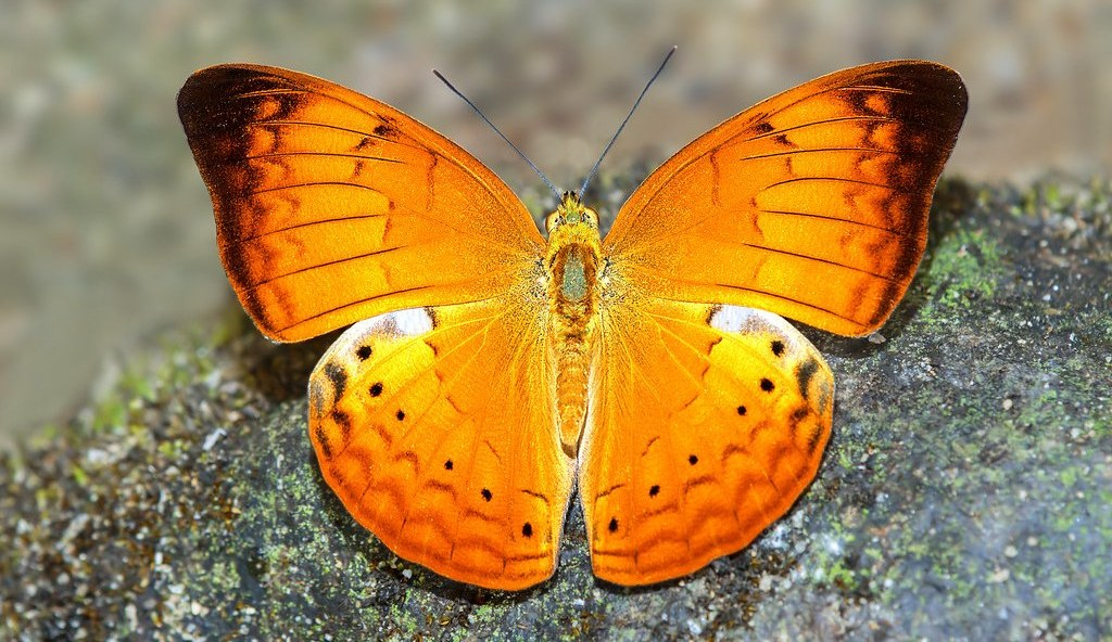 tamil-nadu-declares-the-tamil-yeoman-as-state-butterfly